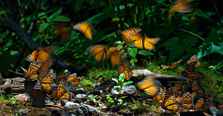 Monarch butterflies by Medford Taylor
