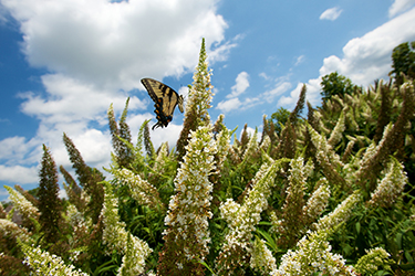 A swallowtail feeds at Sweet Briar's butterfly garden.