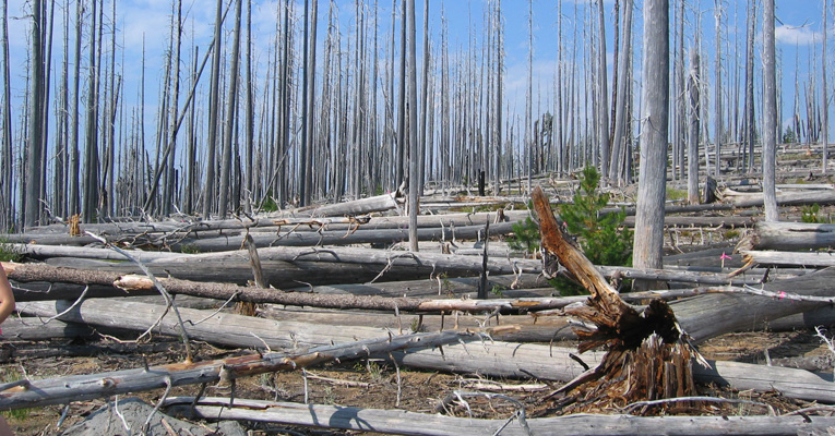 The remains of a forest fire in the Oregon Cascade Range, approximately 15 years later. Photo by the Northwest Oregon Ecology Program, USDA Forest Service.