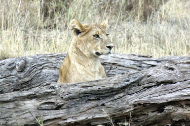 A lion in Serengeti National Park